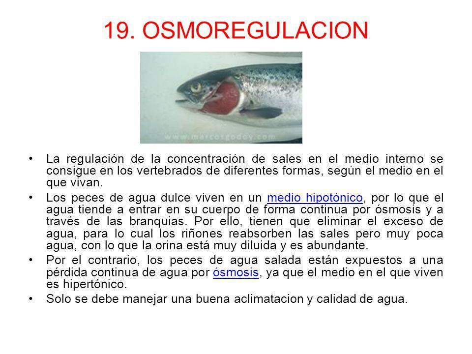 19. OSMOREGULACION La regulación de la concentración de sales en el medio interno se consigue en los vertebrados de diferentes formas, según el medio