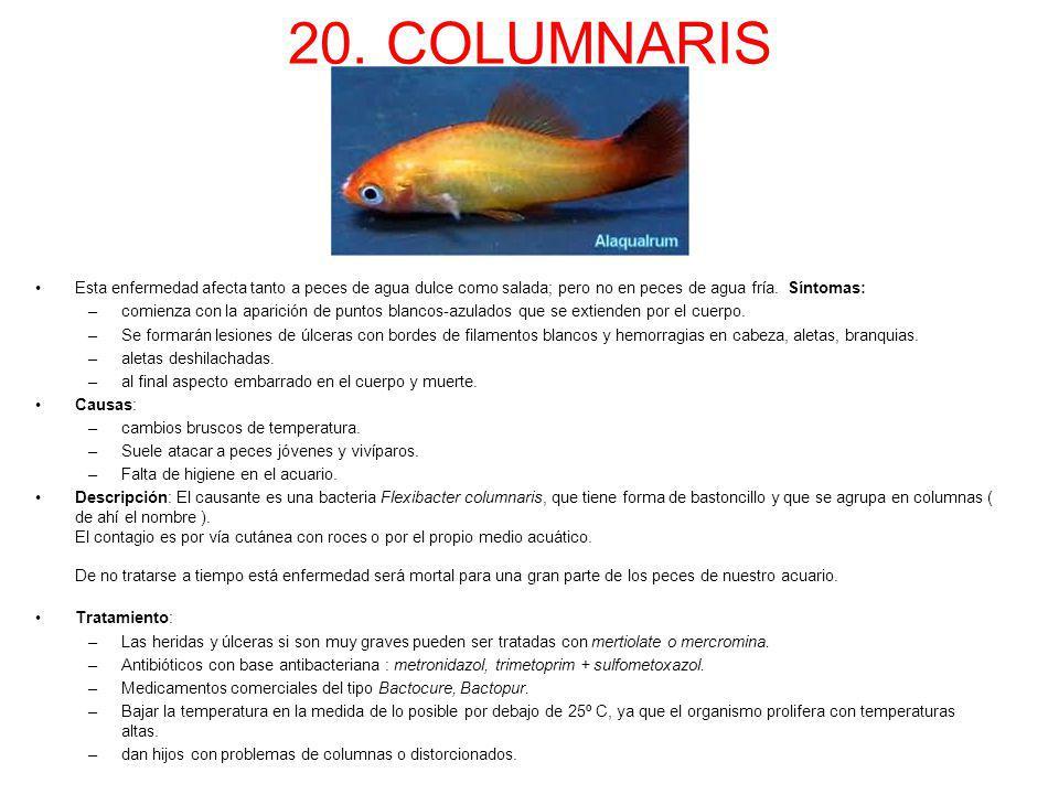 20. COLUMNARIS Esta enfermedad afecta tanto a peces de agua dulce como salada; pero no en peces de agua fría. Síntomas: –comienza con la aparición de