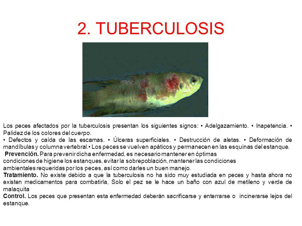 2. TUBERCULOSIS Los peces afectados por la tuberculosis presentan los siguientes signos: Adelgazamiento. Inapetencia. Palidez de los colores del cuerp