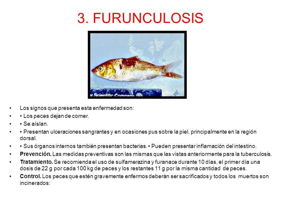 3. FURUNCULOSIS Los signos que presenta esta enfermedad son: Los peces dejan de comer. Se aíslan. Presentan ulceraciones sangrantes y en ocasiones pus