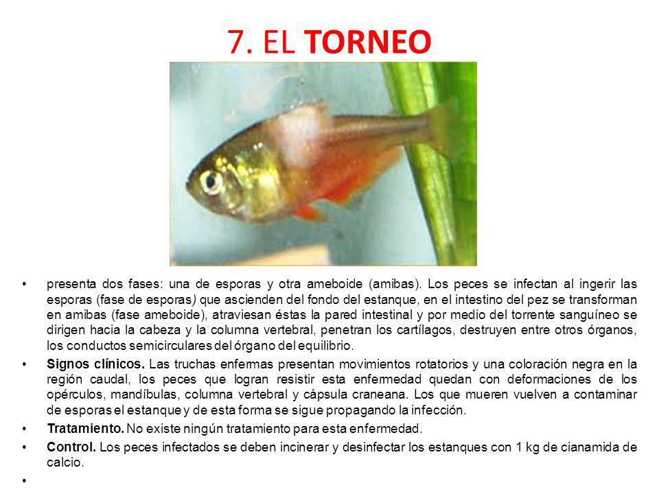 7. EL TORNEO presenta dos fases: una de esporas y otra ameboide (amibas). Los peces se infectan al ingerir las esporas (fase de esporas) que ascienden