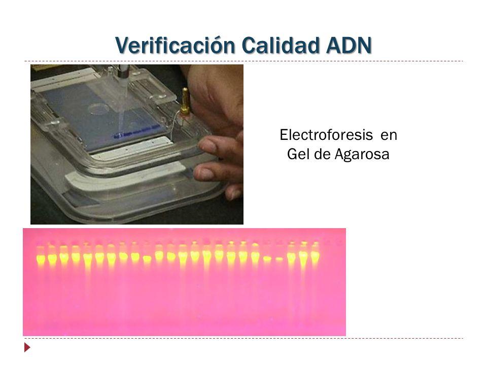 Verificación Calidad ADN Electroforesis en Gel de Agarosa