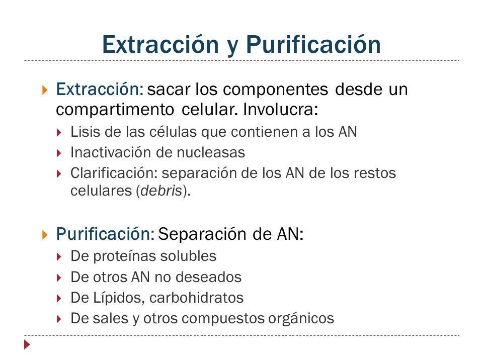 Extracción y Purificación Extracción: sacar los componentes desde un compartimento celular. Involucra: Lisis de las células que contienen a los AN Ina