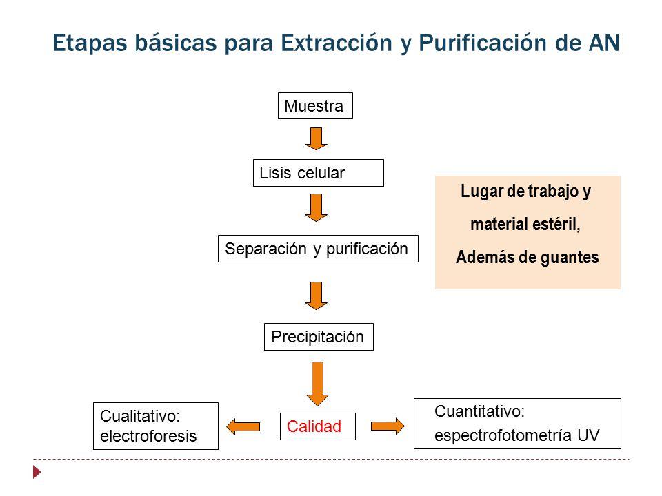 Muestra Lisis celular Separación y purificación Precipitación Calidad Cualitativo: electroforesis Cuantitativo: espectrofotometría UV Etapas básicas p