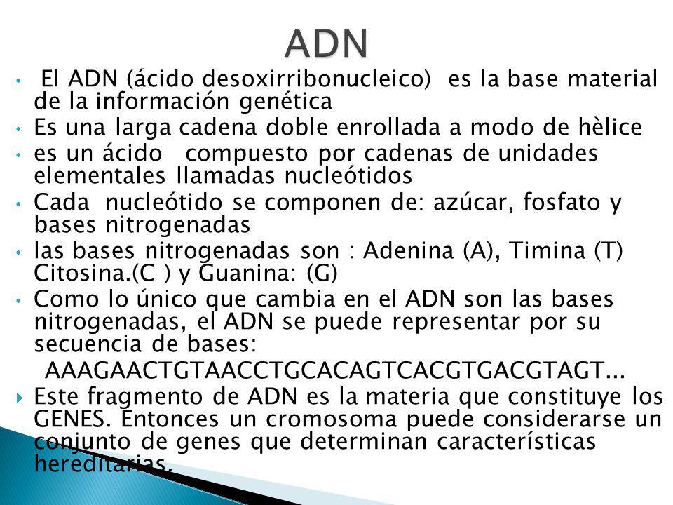 El ADN (ácido desoxirribonucleico) es la base material de la información genética Es una larga cadena doble enrollada a modo de hèlice es un ácido compuesto por cadenas de unidades elementales llamadas nucleótidos Cada nucleótido se componen de: azúcar, fosfato y bases nitrogenadas las bases nitrogenadas son : Adenina (A), Timina (T) Citosina.(C ) y Guanina: (G) Como lo único que cambia en el ADN son las bases nitrogenadas, el ADN se puede representar por su secuencia de bases: AAAGAACTGTAACCTGCACAGTCACGTGACGTAGT...