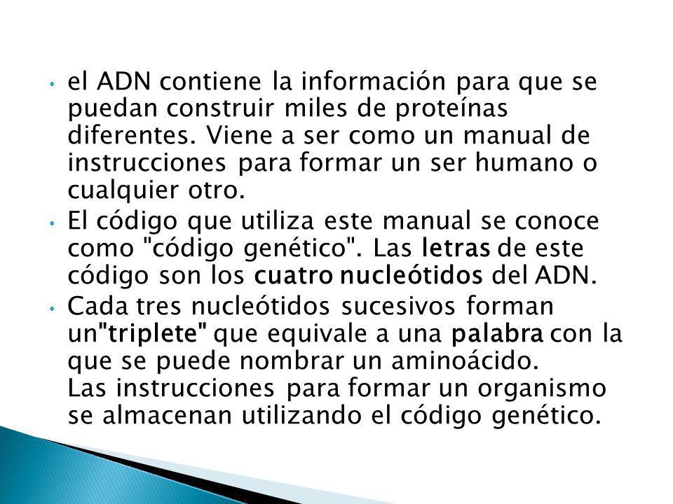 el ADN contiene la información para que se puedan construir miles de proteínas diferentes. Viene a ser como un manual de instrucciones para formar un