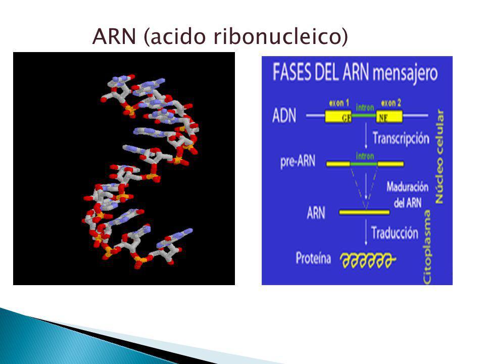 ARN (acido ribonucleico)
