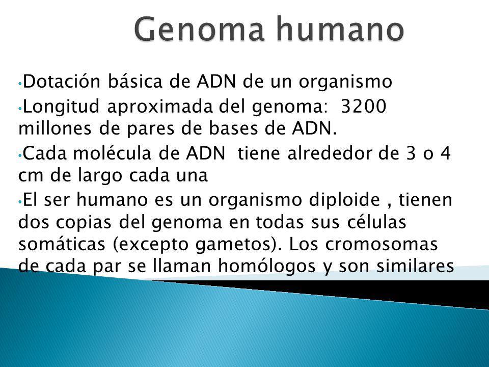 Dotación básica de ADN de un organismo Longitud aproximada del genoma: 3200 millones de pares de bases de ADN. Cada molécula de ADN tiene alrededor de