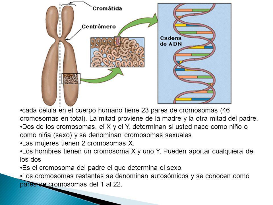 cada célula en el cuerpo humano tiene 23 pares de cromosomas (46 cromosomas en total). La mitad proviene de la madre y la otra mitad del padre. Dos de