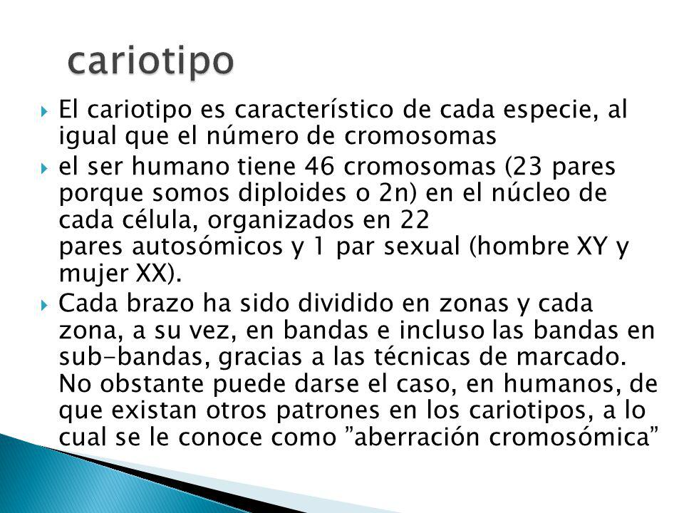 El cariotipo es característico de cada especie, al igual que el número de cromosomas el ser humano tiene 46 cromosomas (23 pares porque somos diploides o 2n) en el núcleo de cada célula, organizados en 22 pares autosómicos y 1 par sexual (hombre XY y mujer XX).