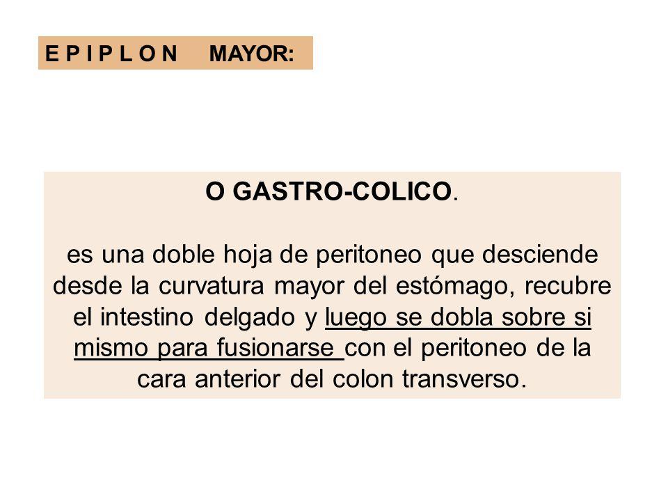 E P I P L O N MAYOR: O GASTRO-COLICO. es una doble hoja de peritoneo que desciende desde la curvatura mayor del estómago, recubre el intestino delgado