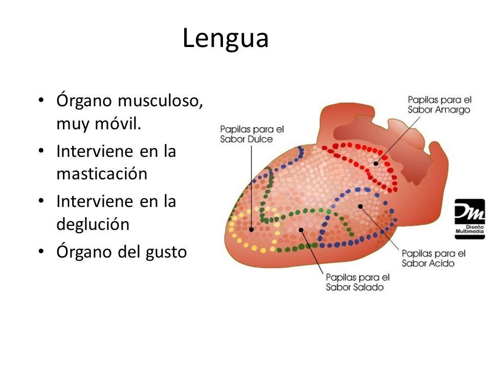 Lengua Órgano musculoso, muy móvil. Interviene en la masticación Interviene en la deglución Órgano del gusto