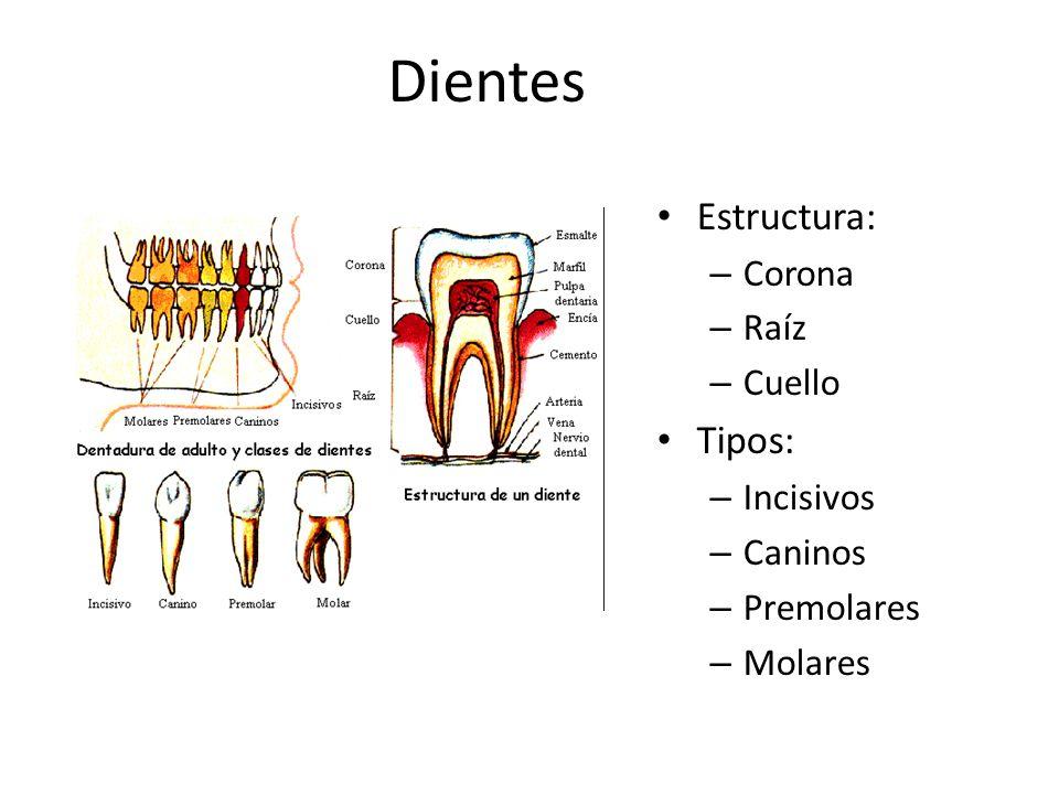 Dientes Estructura: – Corona – Raíz – Cuello Tipos: – Incisivos – Caninos – Premolares – Molares