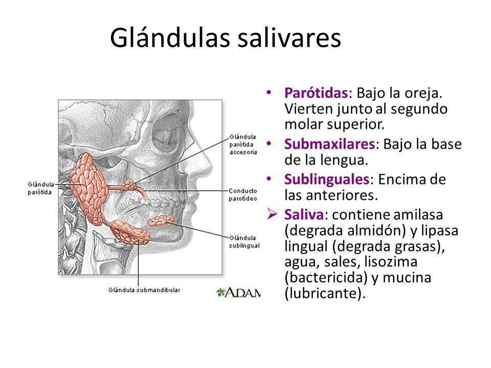 Glándulas salivares Parótidas: Bajo la oreja. Vierten junto al segundo molar superior. Submaxilares: Bajo la base de la lengua. Sublinguales: Encima d