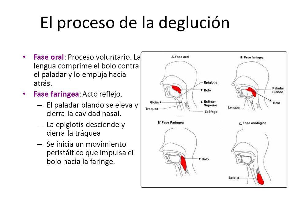 El proceso de la deglución Fase oral: Proceso voluntario. La lengua comprime el bolo contra el paladar y lo empuja hacia atrás. Fase faríngea: Acto re