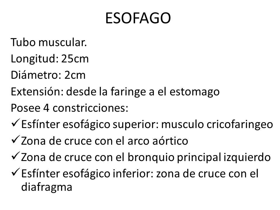 ESOFAGO Tubo muscular. Longitud: 25cm Diámetro: 2cm Extensión: desde la faringe a el estomago Posee 4 constricciones: Esfínter esofágico superior: mus