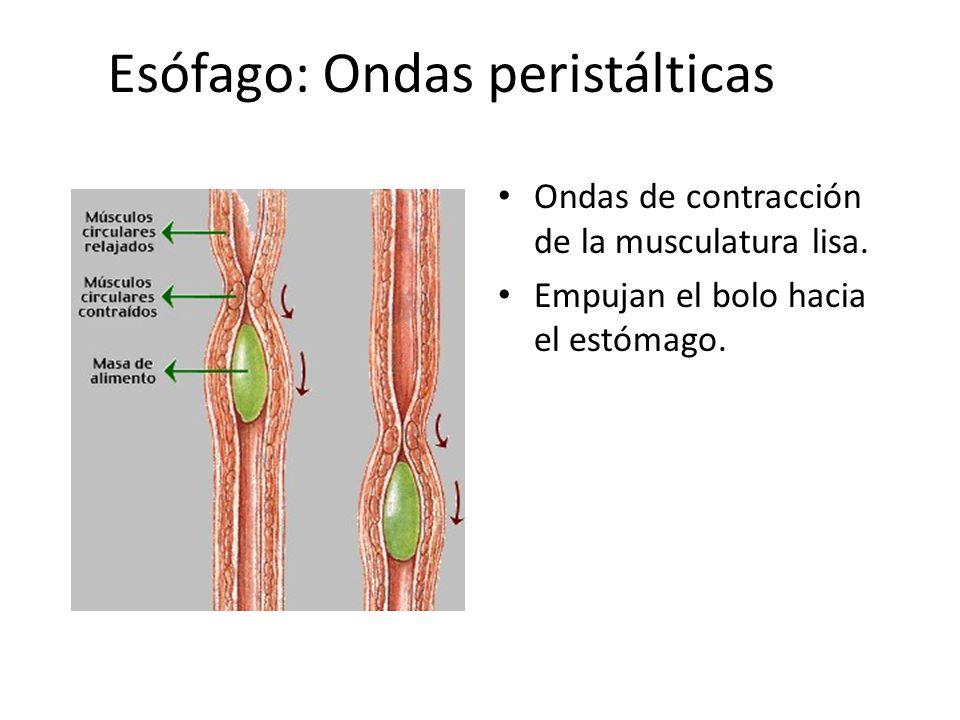 Esófago: Ondas peristálticas Ondas de contracción de la musculatura lisa. Empujan el bolo hacia el estómago.