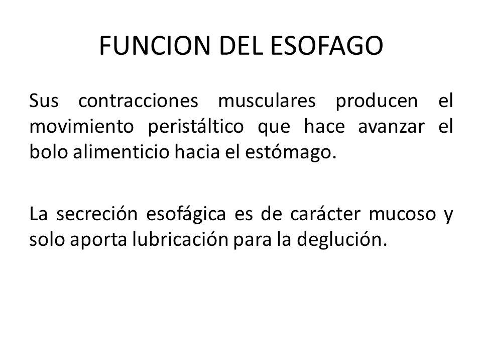 FUNCION DEL ESOFAGO Sus contracciones musculares producen el movimiento peristáltico que hace avanzar el bolo alimenticio hacia el estómago. La secrec