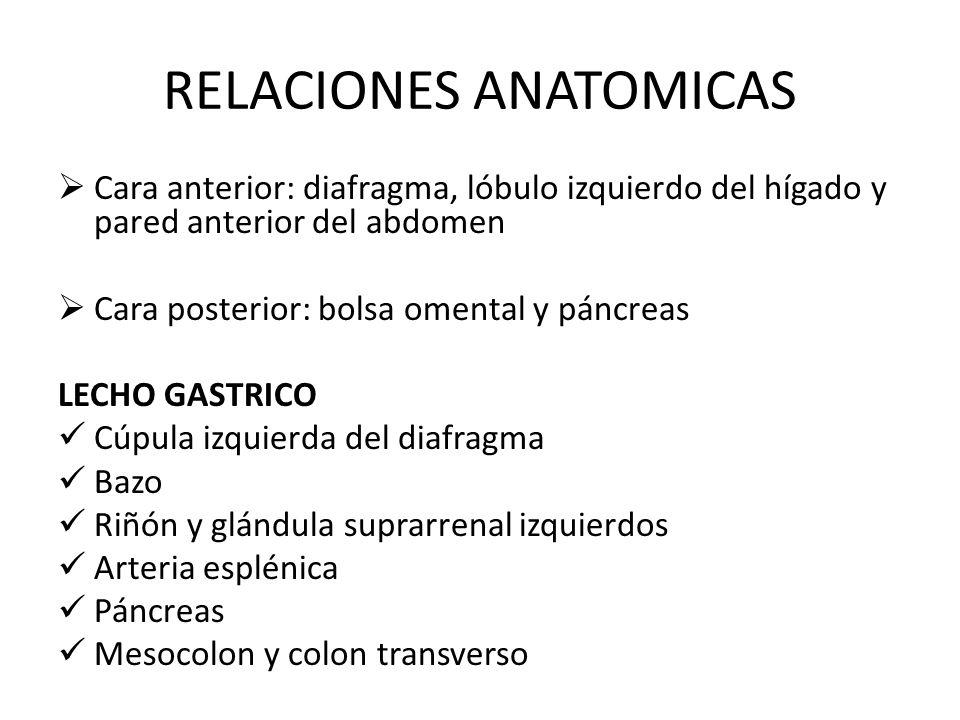 RELACIONES ANATOMICAS Cara anterior: diafragma, lóbulo izquierdo del hígado y pared anterior del abdomen Cara posterior: bolsa omental y páncreas LECH