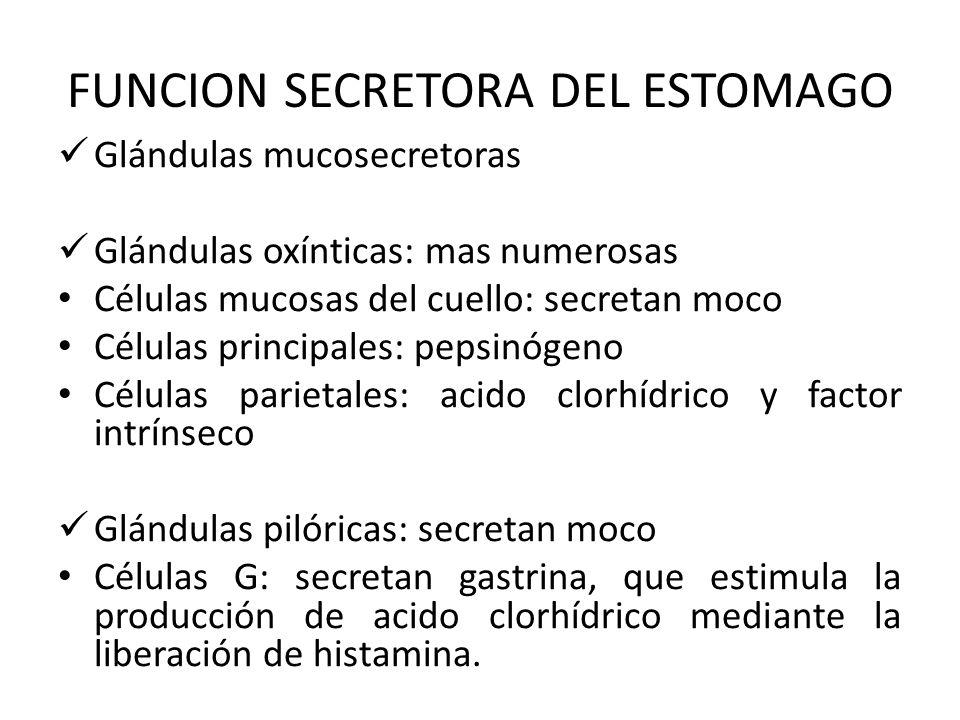 FUNCION SECRETORA DEL ESTOMAGO Glándulas mucosecretoras Glándulas oxínticas: mas numerosas Células mucosas del cuello: secretan moco Células principal