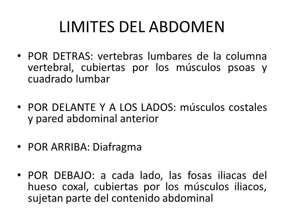 LIMITES DEL ABDOMEN POR DETRAS: vertebras lumbares de la columna vertebral, cubiertas por los músculos psoas y cuadrado lumbar POR DELANTE Y A LOS LAD
