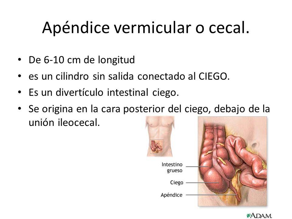 Apéndice vermicular o cecal. De 6-10 cm de longitud es un cilindro sin salida conectado al CIEGO. Es un divertículo intestinal ciego. Se origina en la