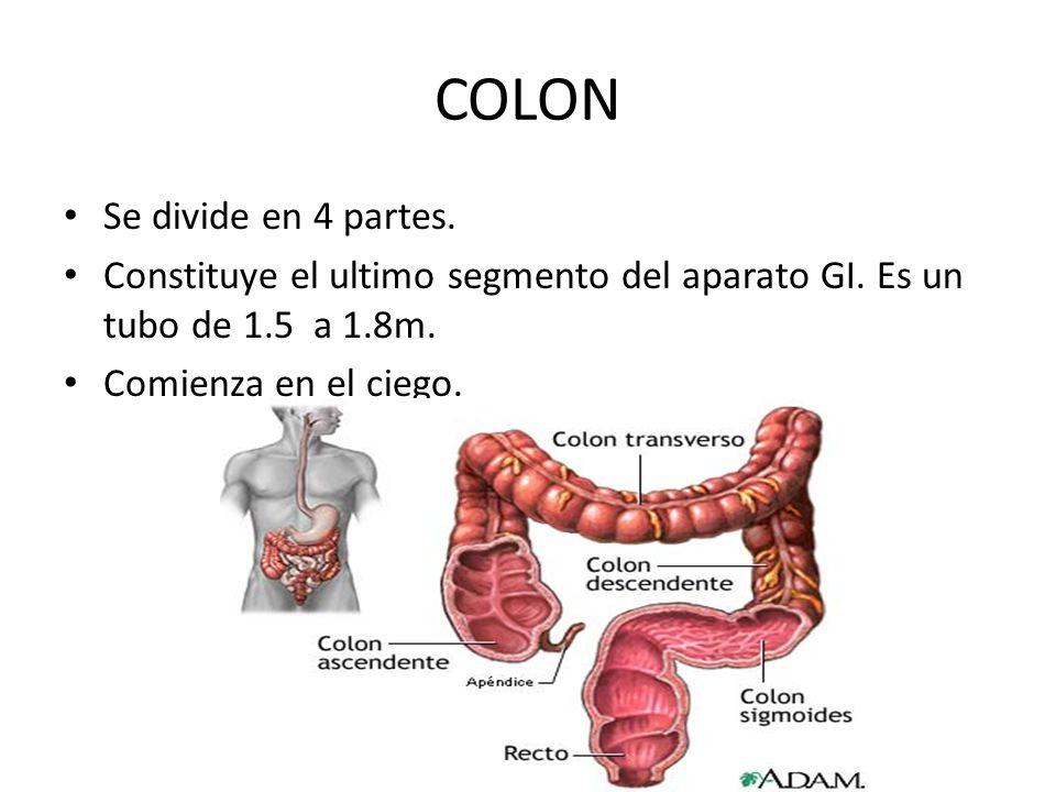 COLON Se divide en 4 partes. Constituye el ultimo segmento del aparato GI. Es un tubo de 1.5 a 1.8m. Comienza en el ciego.