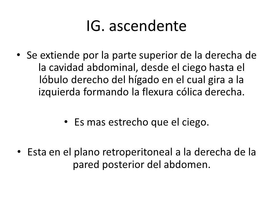 IG. ascendente Se extiende por la parte superior de la derecha de la cavidad abdominal, desde el ciego hasta el lóbulo derecho del hígado en el cual g