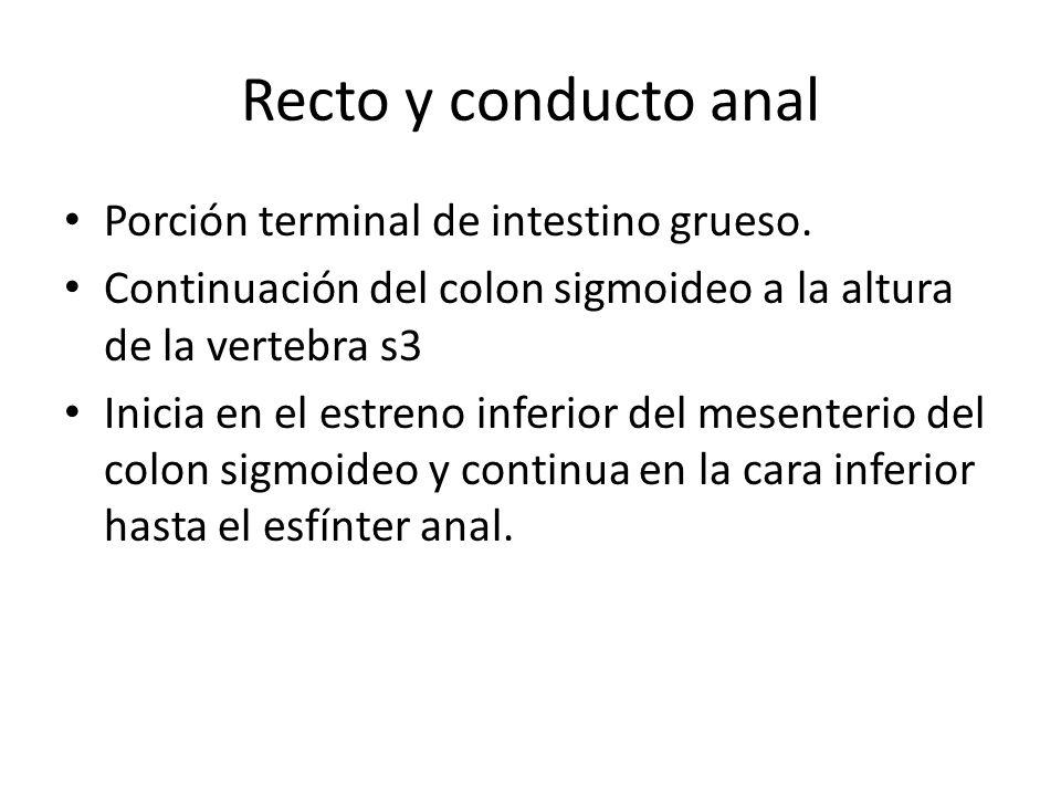 Recto y conducto anal Porción terminal de intestino grueso. Continuación del colon sigmoideo a la altura de la vertebra s3 Inicia en el estreno inferi