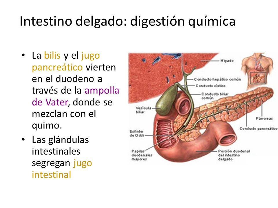 Intestino delgado: digestión química La bilis y el jugo pancreático vierten en el duodeno a través de la ampolla de Vater, donde se mezclan con el qui