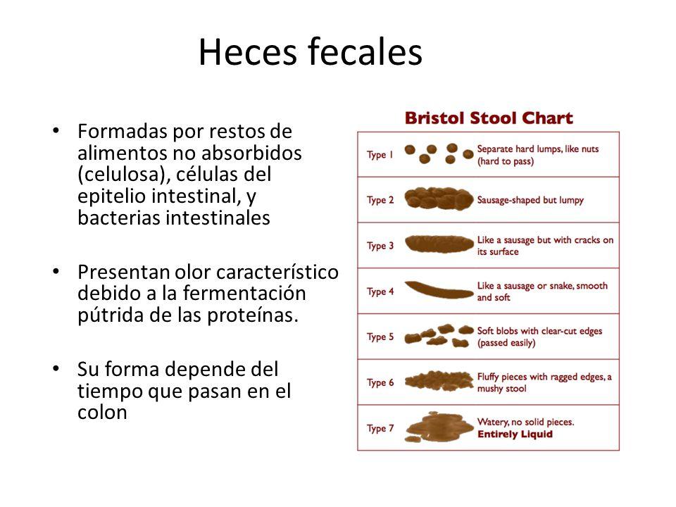 Heces fecales Formadas por restos de alimentos no absorbidos (celulosa), células del epitelio intestinal, y bacterias intestinales Presentan olor cara