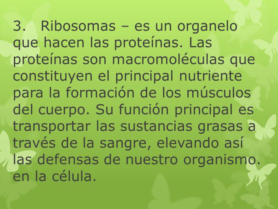 3.Ribosomas – es un organelo que hacen las proteínas. Las proteínas son macromoléculas que constituyen el principal nutriente para la formación de los