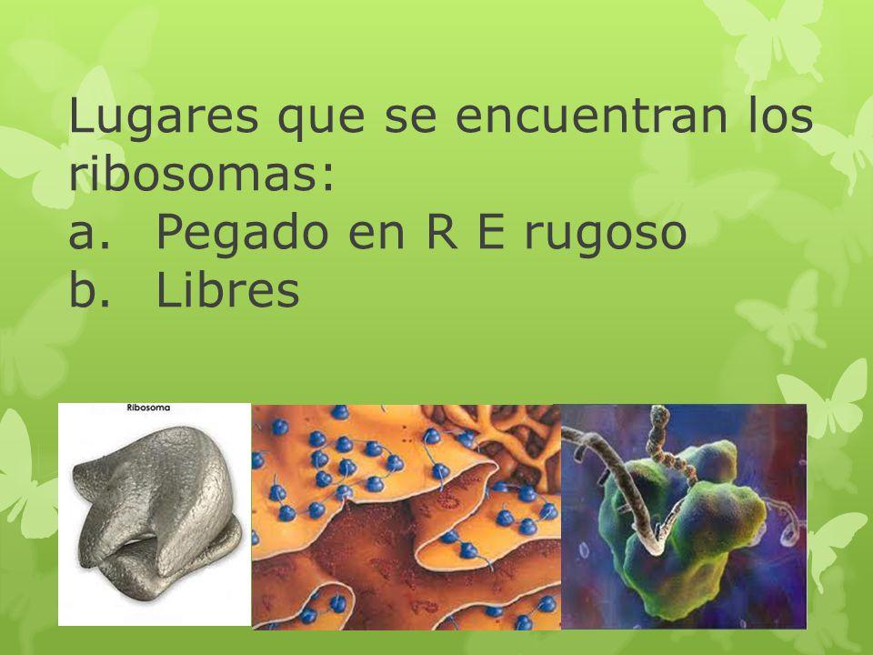 Lugares que se encuentran los ribosomas: a.Pegado en R E rugoso b.Libres