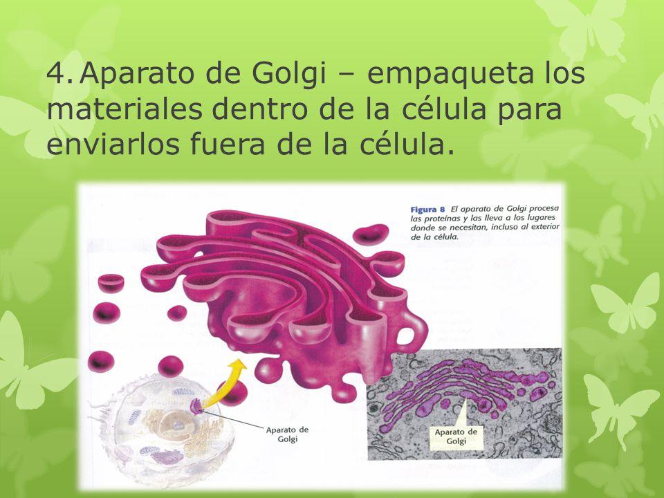 4.Aparato de Golgi – empaqueta los materiales dentro de la célula para enviarlos fuera de la célula.