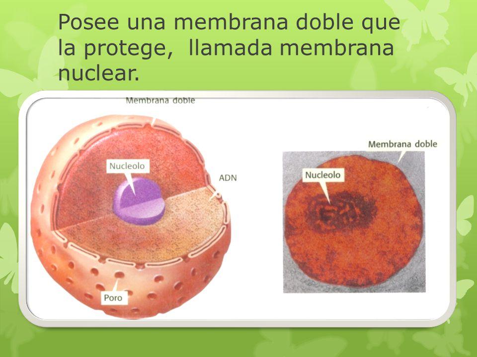 Posee una membrana doble que la protege, llamada membrana nuclear.