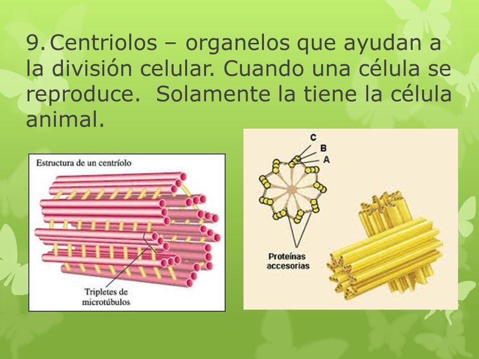 9.Centriolos – organelos que ayudan a la división celular. Cuando una célula se reproduce. Solamente la tiene la célula animal.