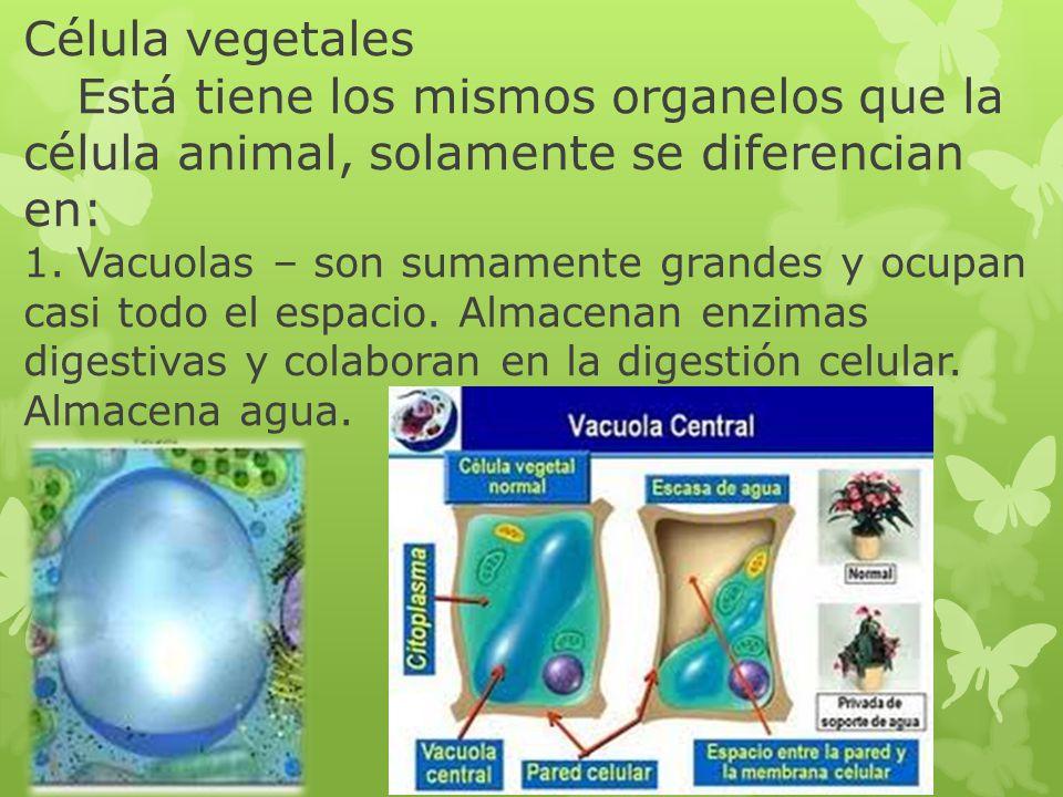 Célula vegetales Está tiene los mismos organelos que la célula animal, solamente se diferencian en: 1.Vacuolas – son sumamente grandes y ocupan casi t
