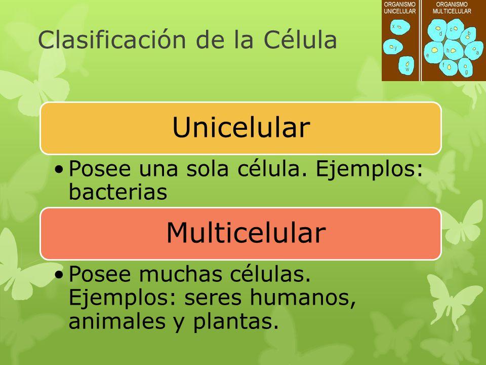 Clasificación de la Célula Unicelular Posee una sola célula. Ejemplos: bacterias Multicelular Posee muchas células. Ejemplos: seres humanos, animales