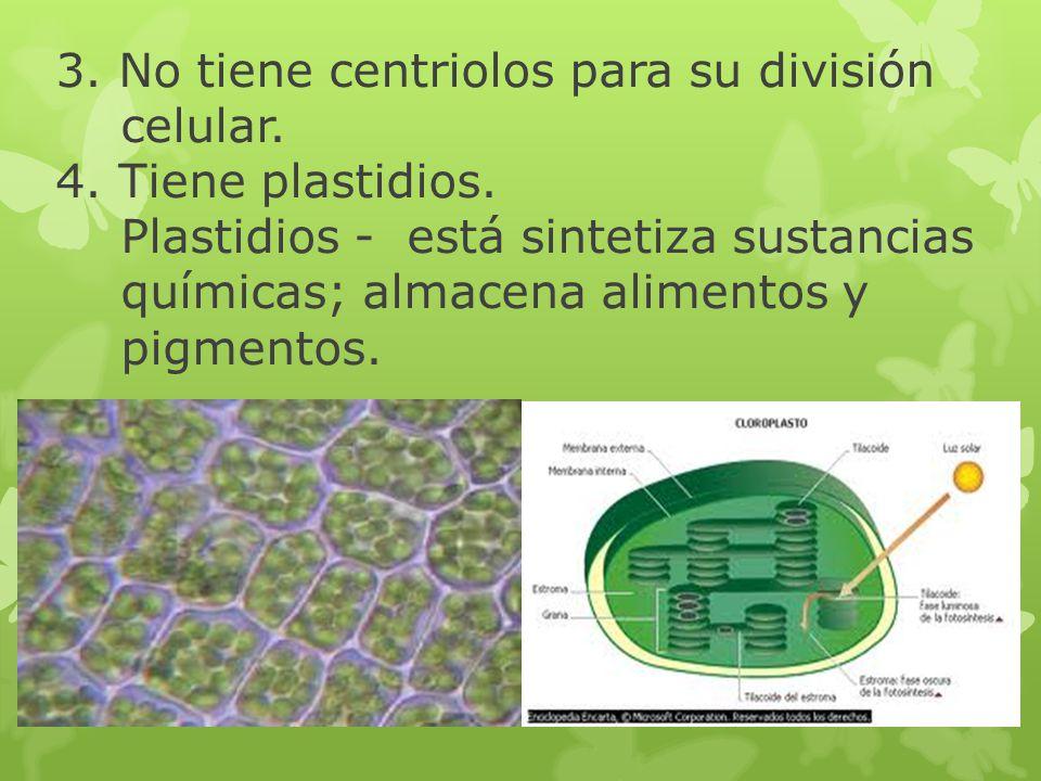 3. No tiene centriolos para su división celular. 4. Tiene plastidios. Plastidios - está sintetiza sustancias químicas; almacena alimentos y pigmentos.