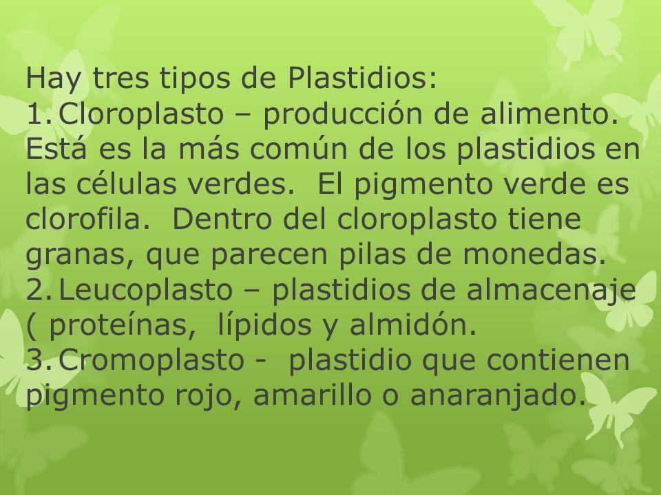 Hay tres tipos de Plastidios: 1.Cloroplasto – producción de alimento. Está es la más común de los plastidios en las células verdes. El pigmento verde