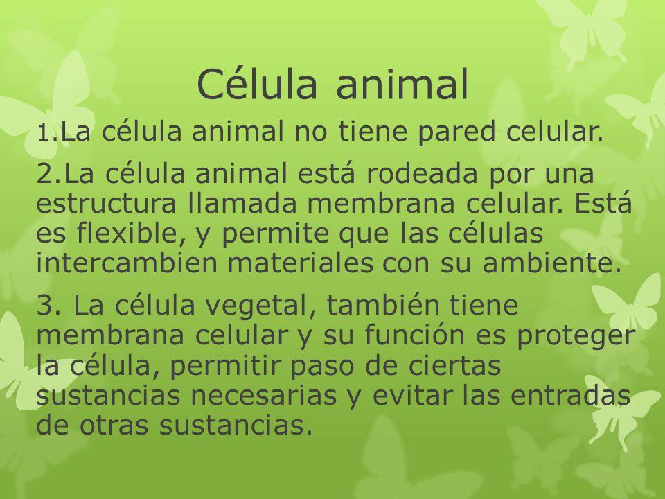 Célula animal 1. La célula animal no tiene pared celular. 2.La célula animal está rodeada por una estructura llamada membrana celular. Está es flexibl