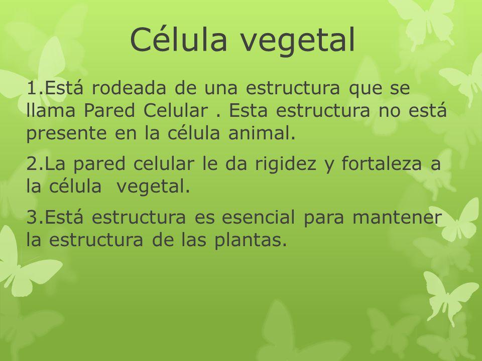 Célula vegetal 1.Está rodeada de una estructura que se llama Pared Celular. Esta estructura no está presente en la célula animal. 2.La pared celular l