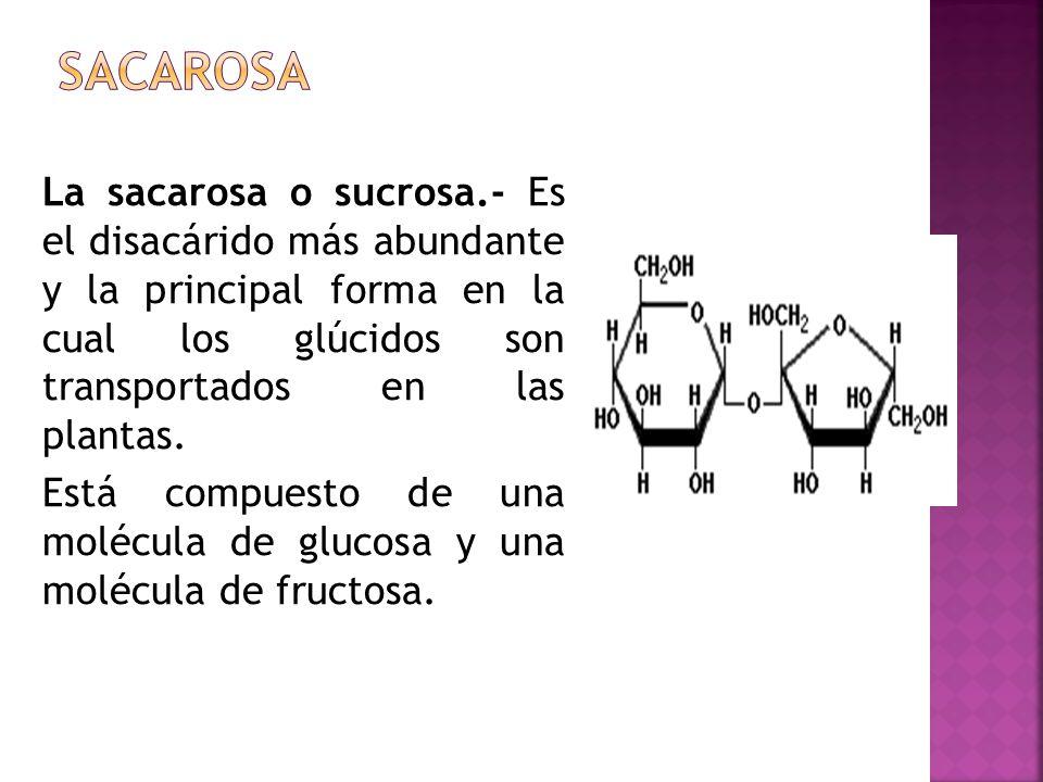 La sacarosa o sucrosa.- Es el disacárido más abundante y la principal forma en la cual los glúcidos son transportados en las plantas. Está compuesto d