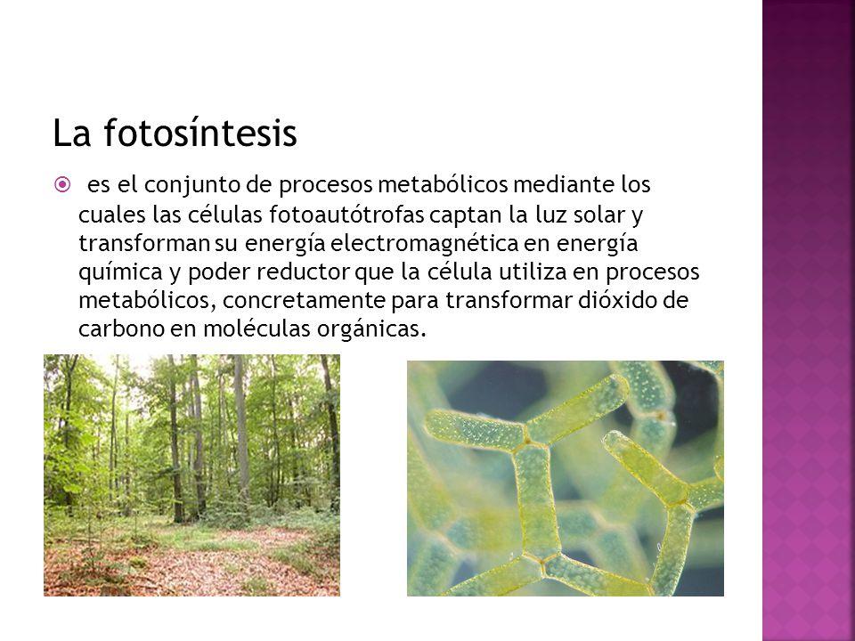 La fotosíntesis es el conjunto de procesos metabólicos mediante los cuales las células fotoautótrofas captan la luz solar y transforman su energía ele