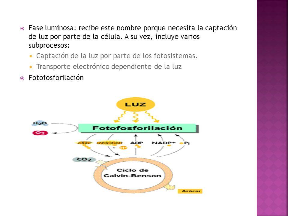 Fase luminosa: recibe este nombre porque necesita la captación de luz por parte de la célula. A su vez, incluye varios subprocesos: Captación de la lu