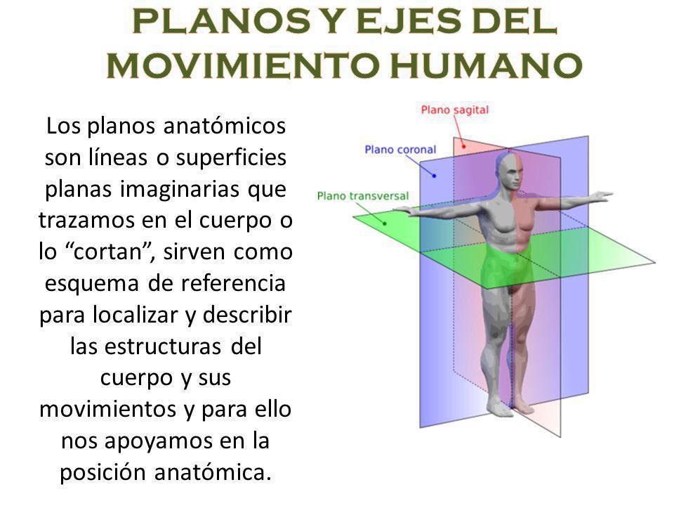 Los planos anatómicos son líneas o superficies planas imaginarias que trazamos en el cuerpo o lo cortan, sirven como esquema de referencia para localizar y describir las estructuras del cuerpo y sus movimientos y para ello nos apoyamos en la posición anatómica.
