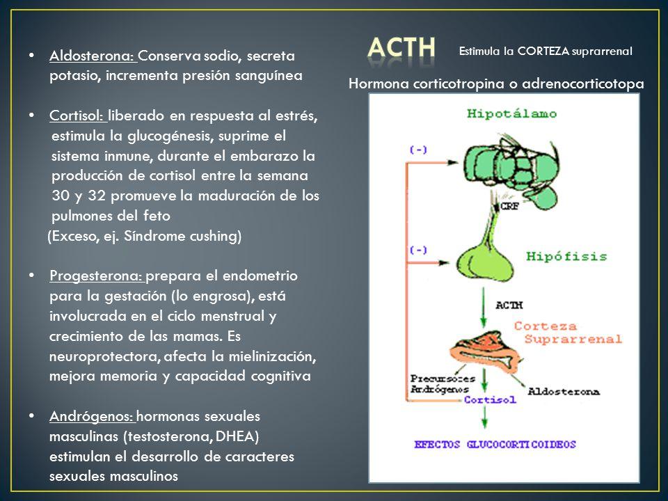 Aldosterona: Conserva sodio, secreta potasio, incrementa presión sanguínea Cortisol: liberado en respuesta al estrés, estimula la glucogénesis, suprim