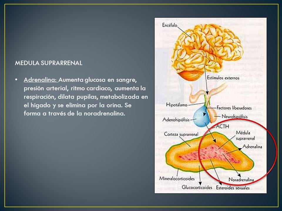 MEDULA SUPRARRENAL Adrenalina: Aumenta glucosa en sangre, presión arterial, ritmo cardiaco, aumenta la respiración, dilata pupilas, metabolizada en el