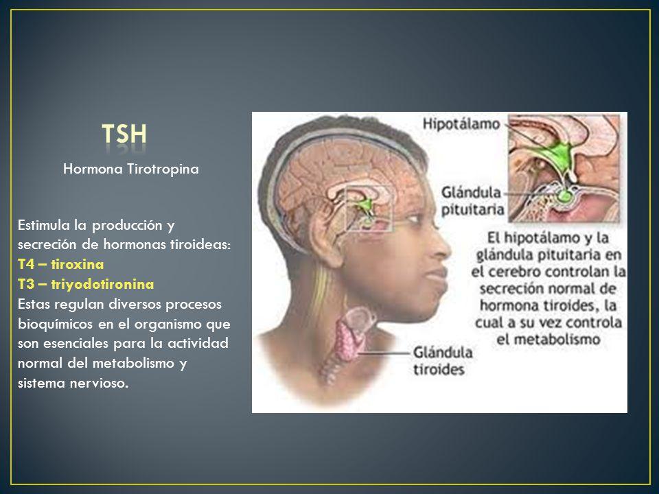 Hormona Tirotropina Estimula la producción y secreción de hormonas tiroideas: T4 – tiroxina T3 – triyodotironina Estas regulan diversos procesos bioqu