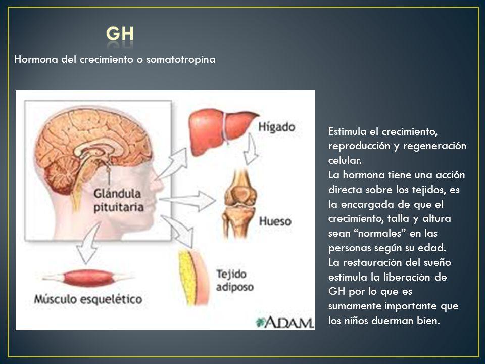 Hormona del crecimiento o somatotropina Estimula el crecimiento, reproducción y regeneración celular. La hormona tiene una acción directa sobre los te